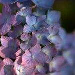 愛・地球博記念公園(モリコロパーク)の紫陽花
