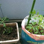 ミニトマトを植えました