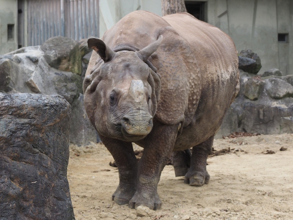 Indian rhinoceros inspection tour
