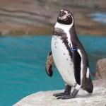 【今日のペンギン写真】フンボルトペンギン(東山動物園) 2016.5.28(Sat)