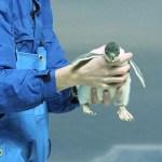 【動画あり】【名古屋港水族館】ペンギンの赤ちゃん誕生♪3種類のヒナが一度に見られる水族館