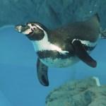 【鳥羽水族館】鳥インフルエンザ対策中!ペンギン水槽を見てきました 2017/1/6