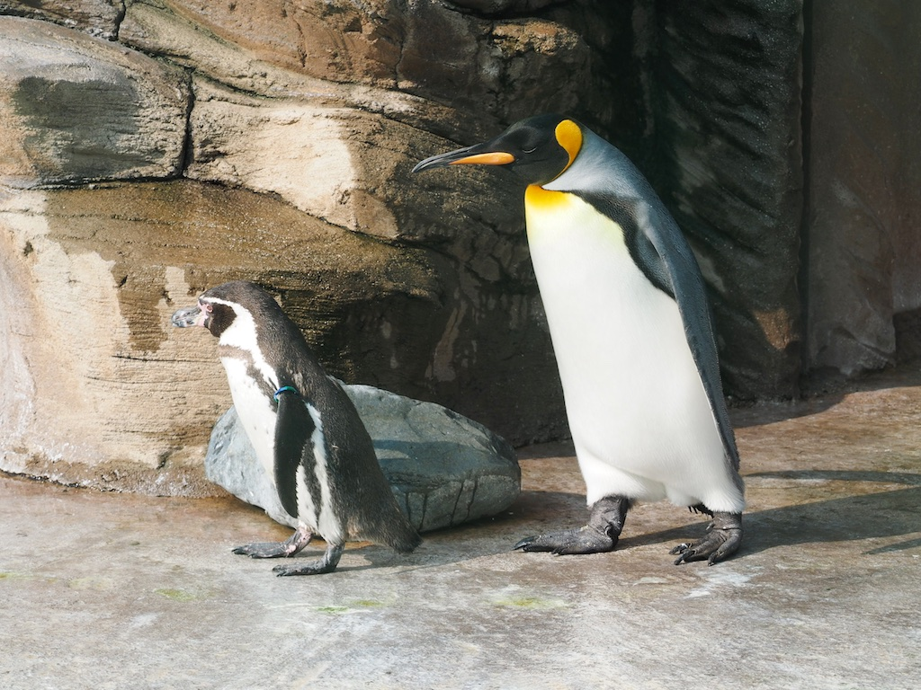 King and Humbolt Penguin