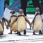【越前松島水族館】ペンギンのお散歩が一年中見られる!ペンギン好きにはたまらない水族館(ペンギン編) 2018/5/1