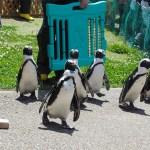 【ペンギン日記】よちよちペンギンがパワーアップ! 2018/5/20 名古屋港水族館