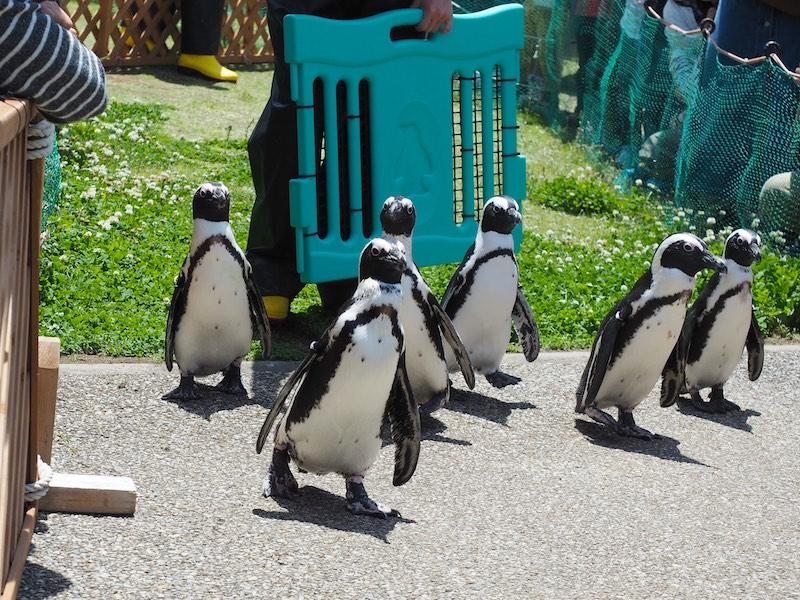 African Penguin Nagoya