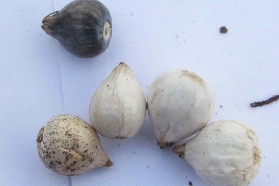 Coix lacryma-jobi seeds
