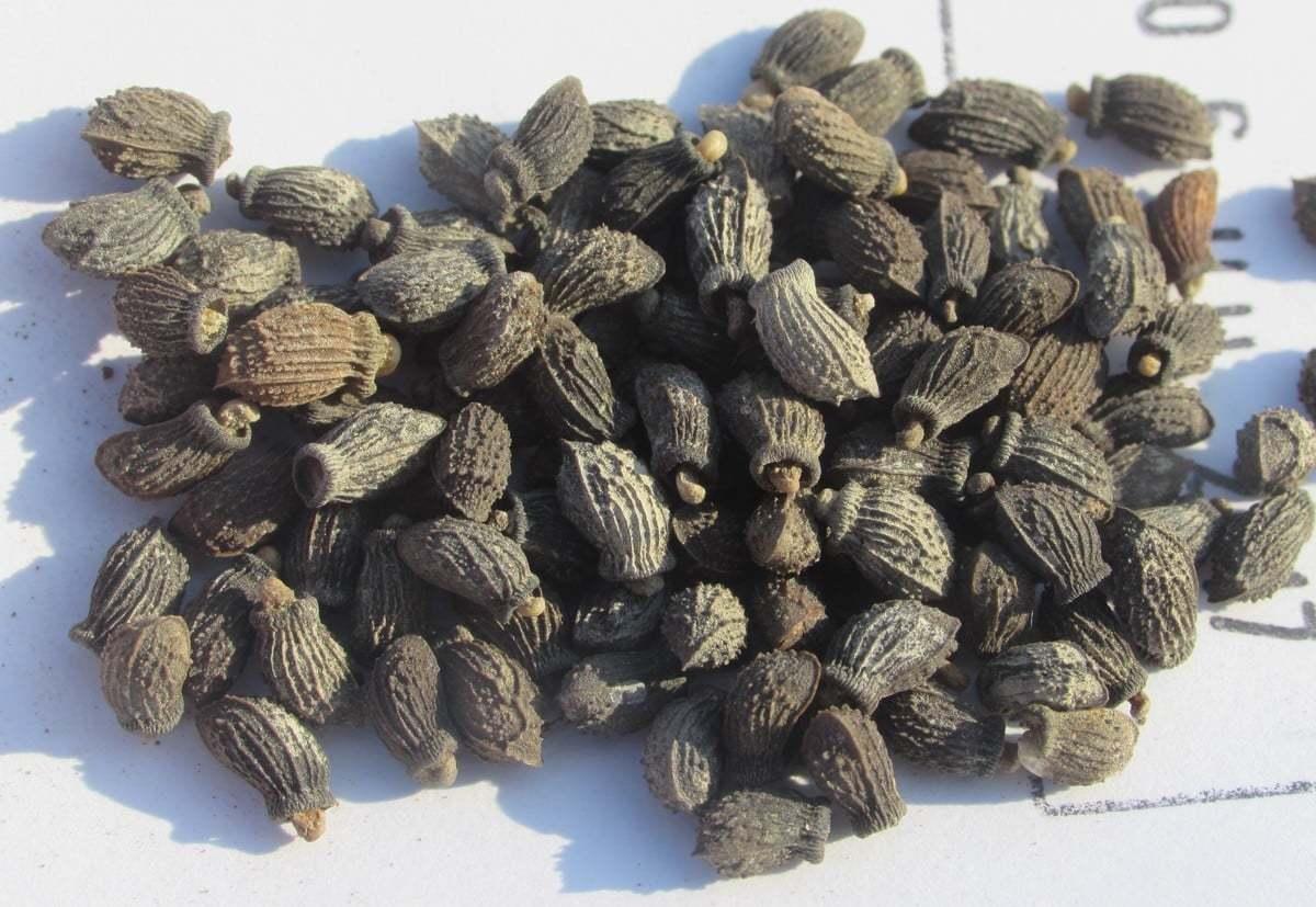 Borago officinalis seeds