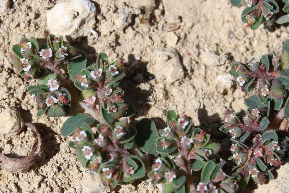 Euphorbia chamaesyce