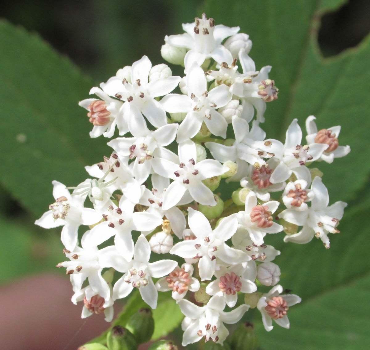 Sambucus ebulus