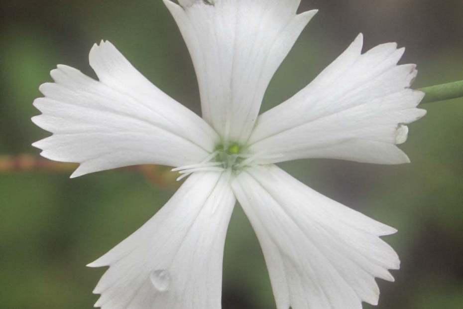 Dianthus leptopetalus
