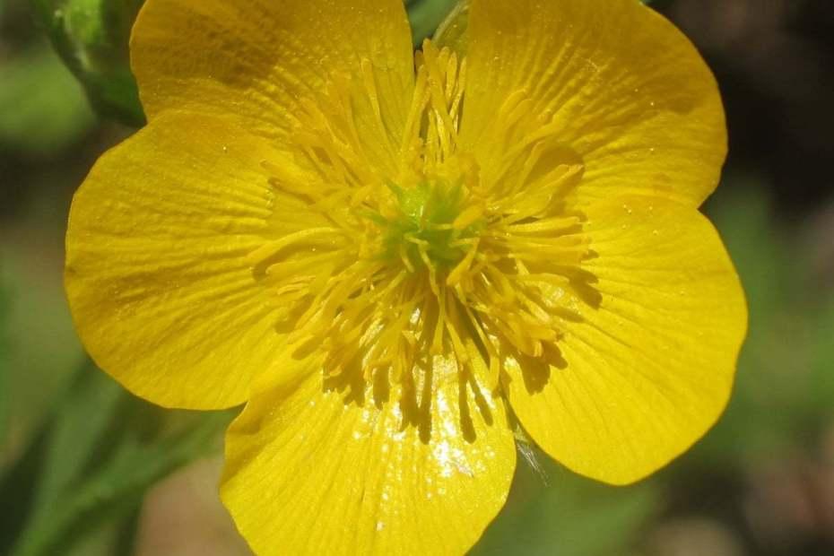 Ranunculus brutius