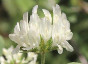 Trifolium constantinopolitanum