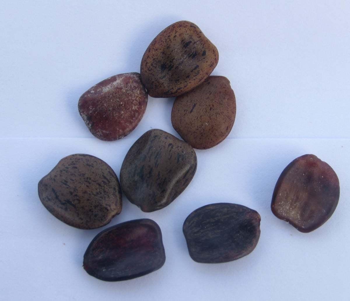 Caesalpinia gilliesii seeds
