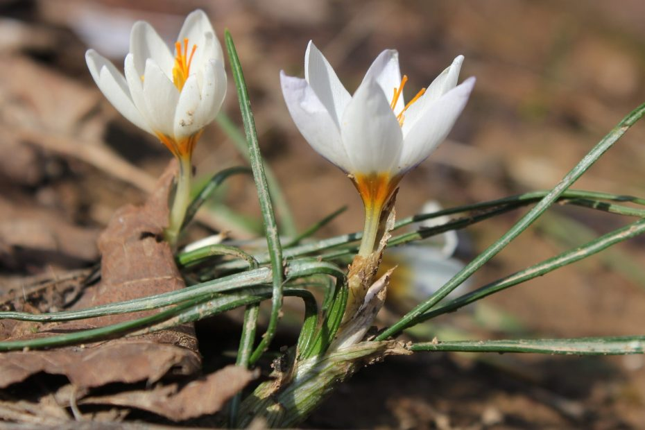 Crocus pestalozzae