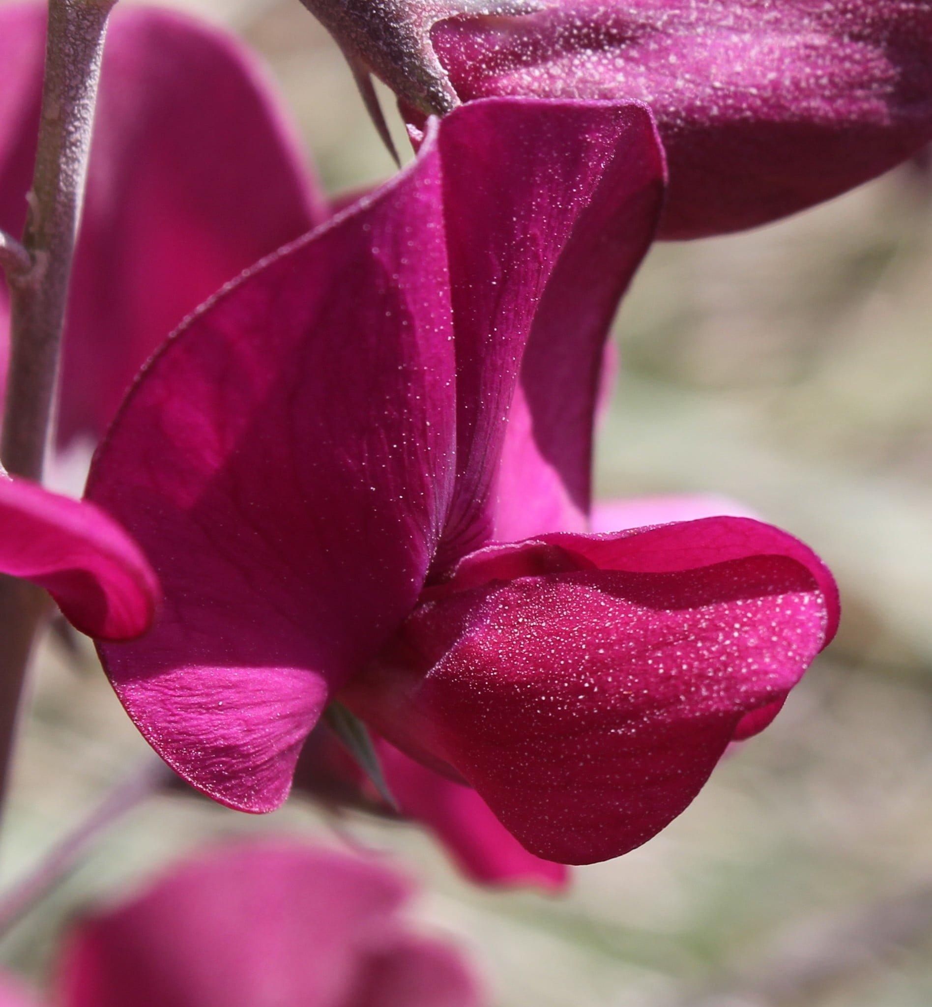 Lathyrus undulatus