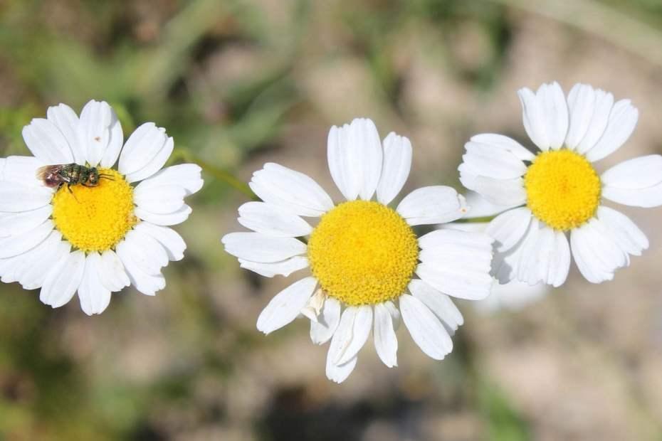 Tripleurospermum conoclinium