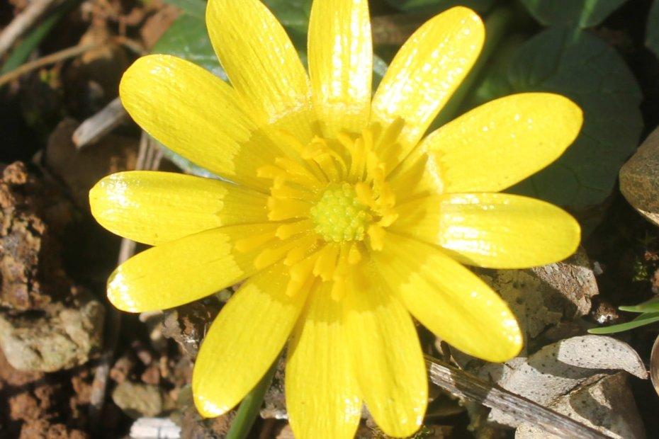 Ficaria verna subsp. calthifolia