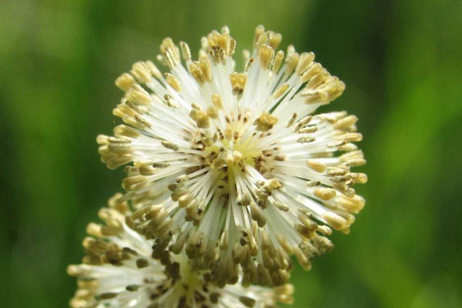 Sparganium erectum subsp. neglectum
