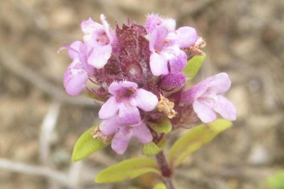Thymus praecox subsp. jankae