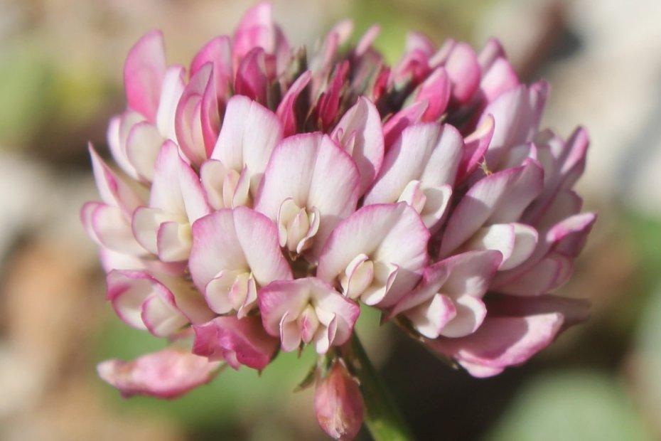 Trifolium repens var. biasolettii