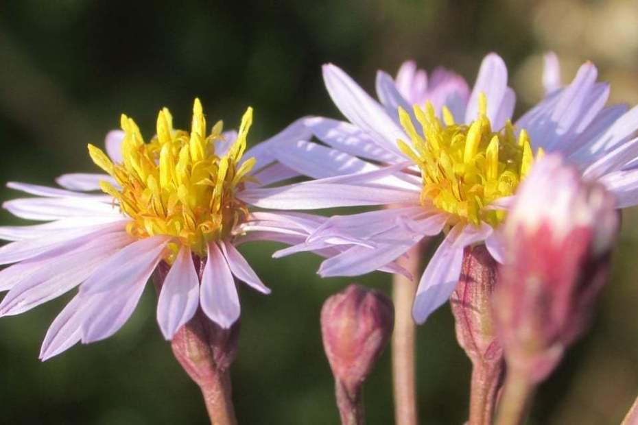 Tripolium pannonicum subsp. tripolium