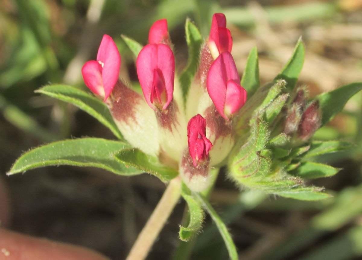 Anthyllis vulneraria subsp. praepropera