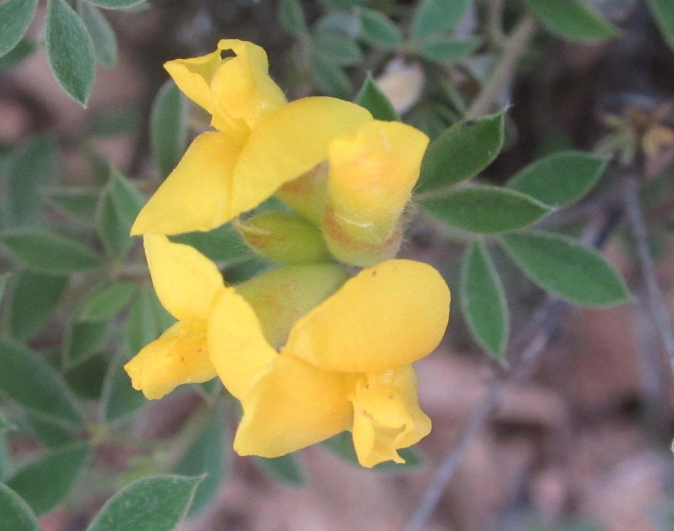 Cytisus austriacus subsp. pygmaeus