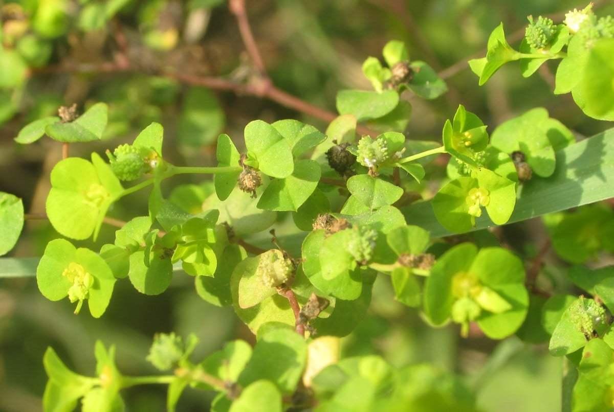 Euphorbia stricta