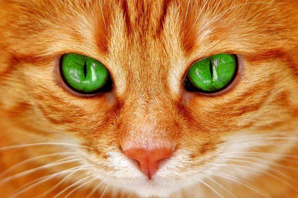 Сонник. К чему приснился рыжий кот