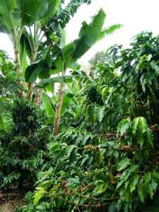 Kaffeepflanze Kolumbien