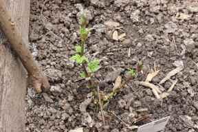 Hopfen der Sorte Tettnanger. Hier entfalten sich die ersten Blätter.