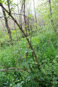 Hier nochmal Wilder Hopfen im Leipziger Auwald.