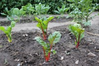 Frischer Mangold bereichert mit seinen leuchtenden Farben das Beet