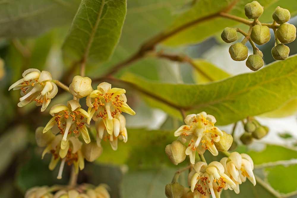 Die Linden blühen