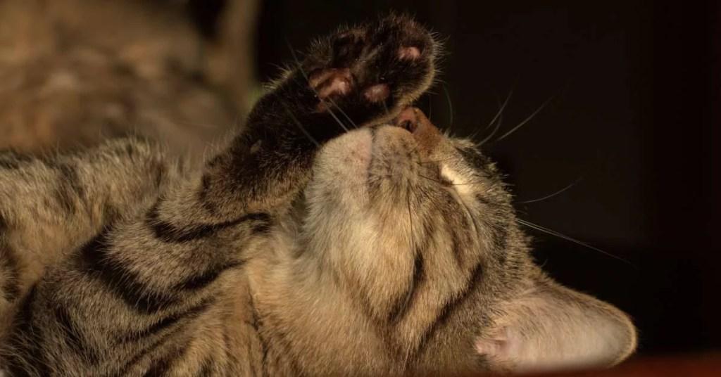 Kot pokazuje łapkę