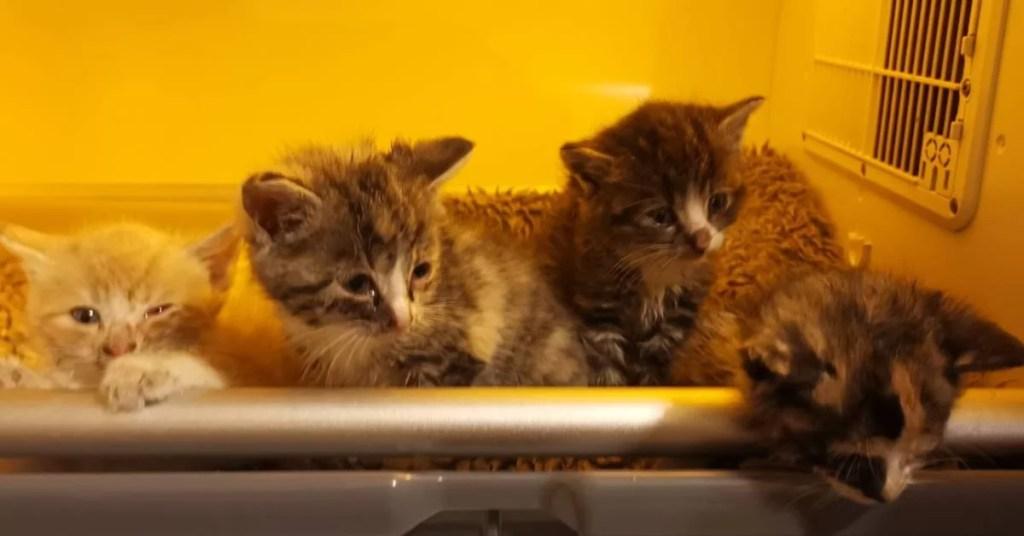 Cztery kocie maluchy w inkubatrorze.
