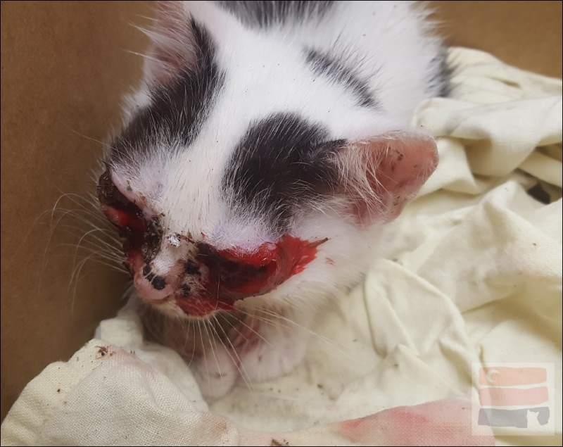 Mała kotka Meye z zainfekowanymi oczami.