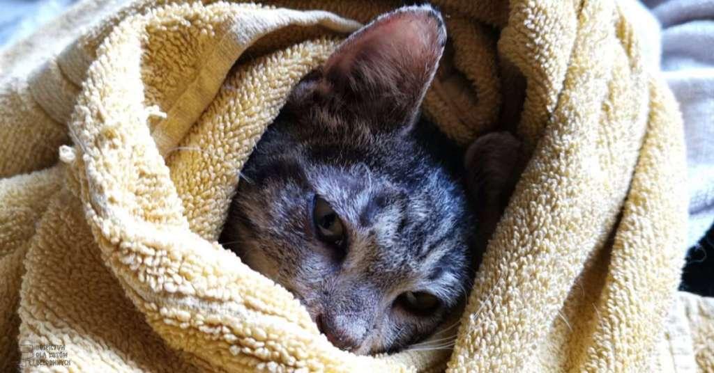 Kot Stance zawinięty w kocyk.