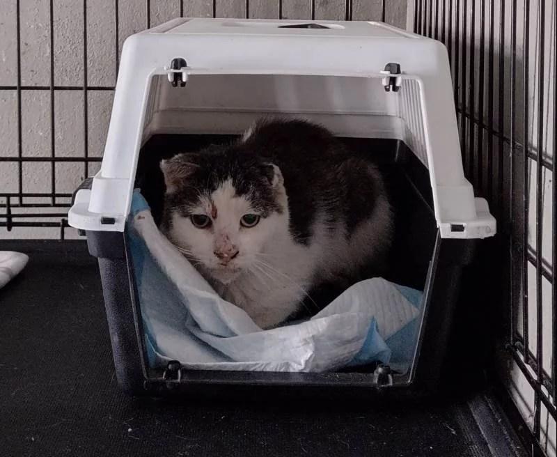 Czarno biały kot Sodden siedzi w transporterze, który znajduje się w kenelu