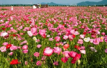 笠岡湾干拓地のポピー畑a~2016年5月