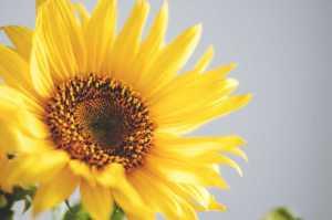 Sonnenblume_1_pexel