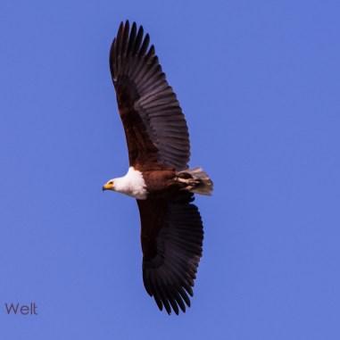Schreiseeadler / Fish Eagle / Marakele Nt. Park