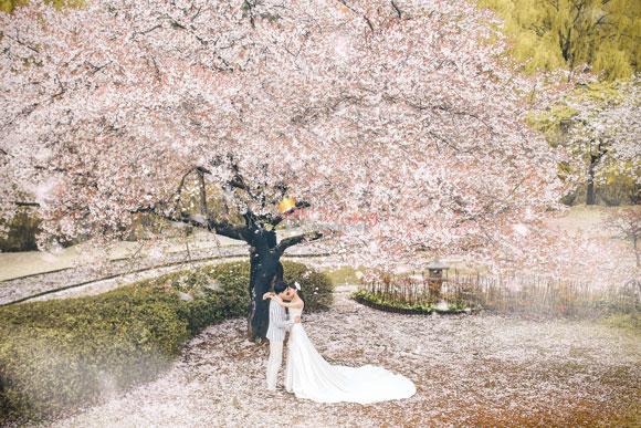 cherry blossom pre wedding in korea
