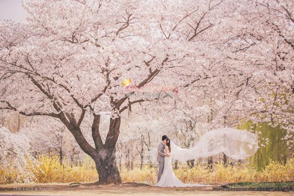 kohit-wedding-korea-pre-wedding-cherry-blossom-27