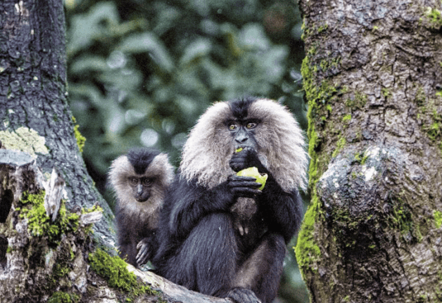 Lion-tailed Macaque- Annamalai Wildlife Sanctuary, Tamil Nadu