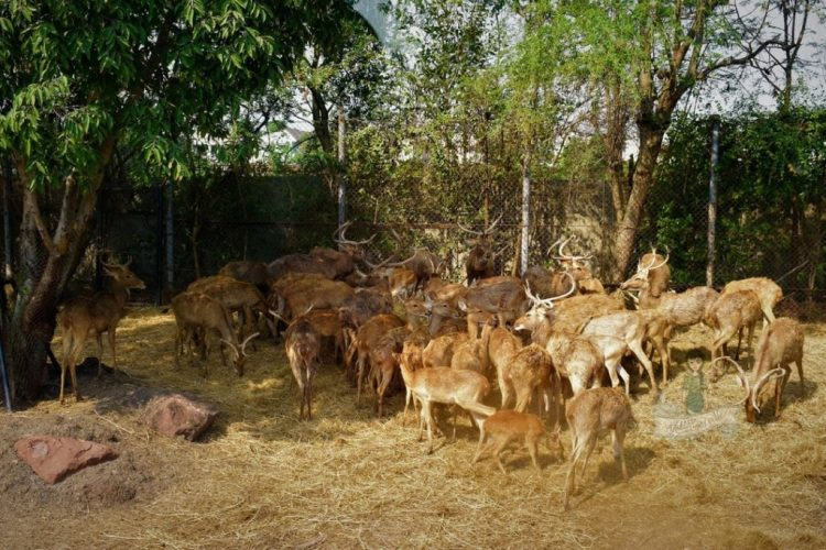 Sambar Deer Blackbuck Safari World
