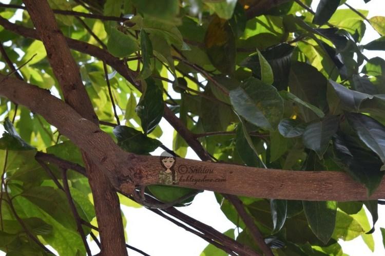 Rudraksha tree in Rishikesh Paramarth Niketan Ashram