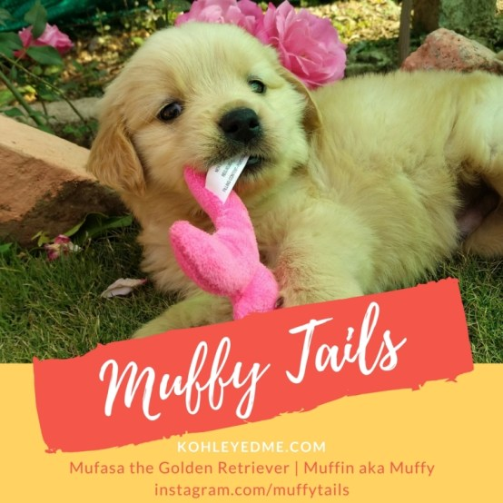 Muffy Tails - Golden Retriever Pupper- all about me -kohleyedme.com