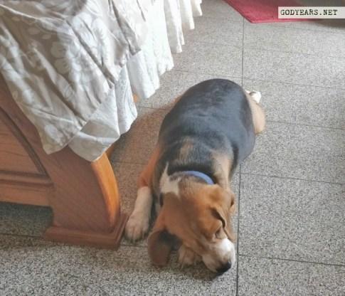 Dog sleeping position superdog superman